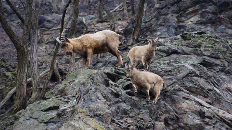 Αίγες βουνών στο ζωολογικό κήπο στοκ εικόνες