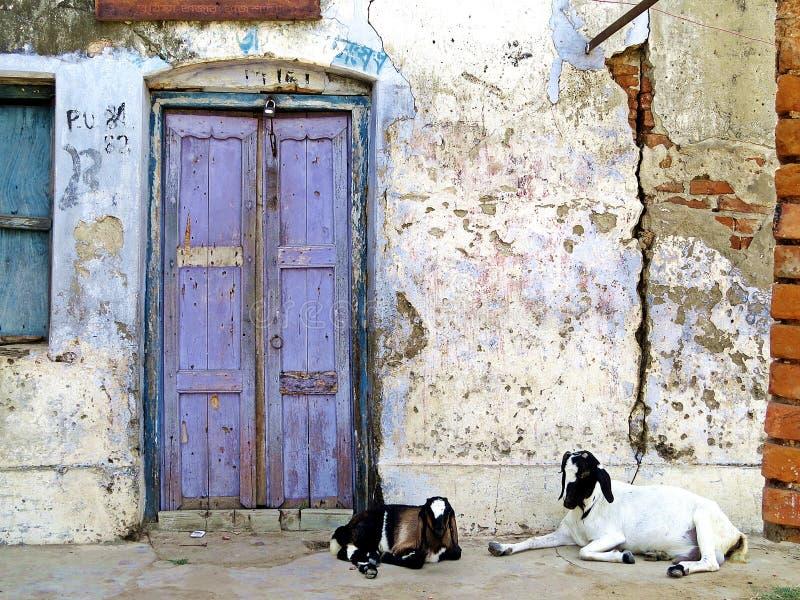 Αίγες που κάθονται μπροστά από την είσοδο πορτών, Rajshahi, Μπανγκλαντές στοκ εικόνες