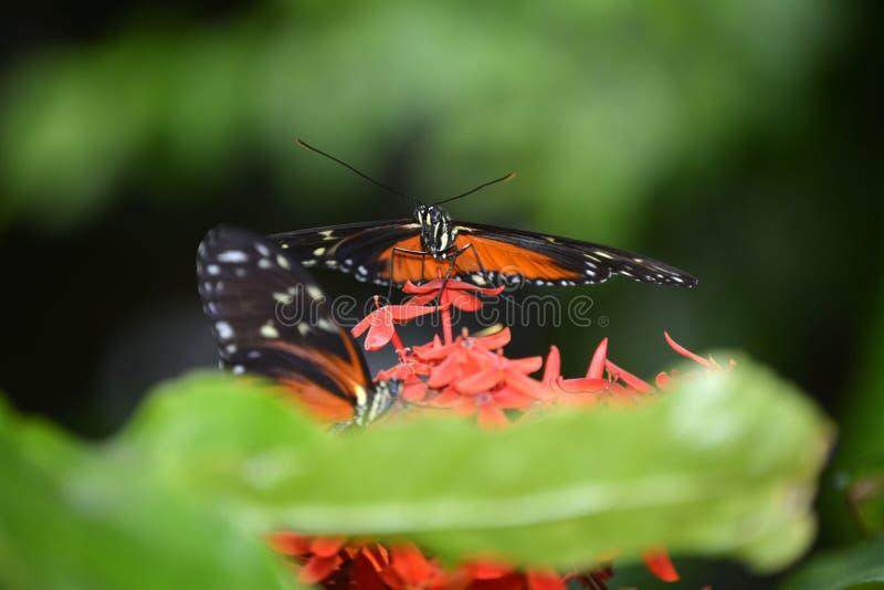 Αίθριο πεταλούδων του Σατανούγκα στοκ εικόνες