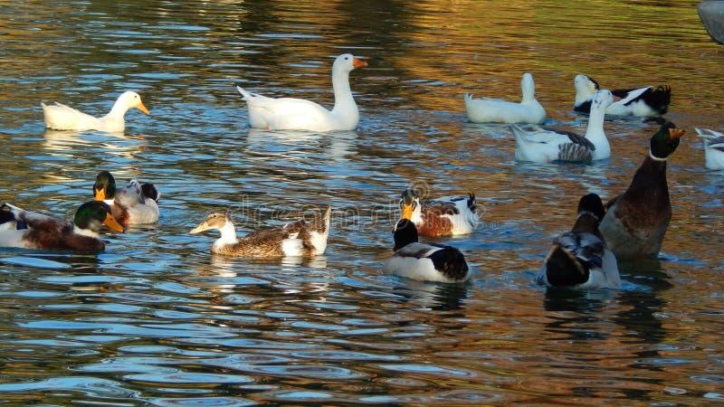 Αίσθημα των όμορφων αγριοχήνων στη λίμνη στοκ εικόνα με δικαίωμα ελεύθερης χρήσης