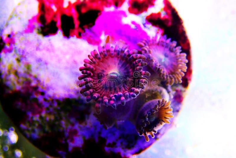 Αίσθηση μαγείας - κοράλλι αποικιών Zoanthus polyps στη δεξαμενή ενυδρείων σκοπέλων στοκ φωτογραφίες
