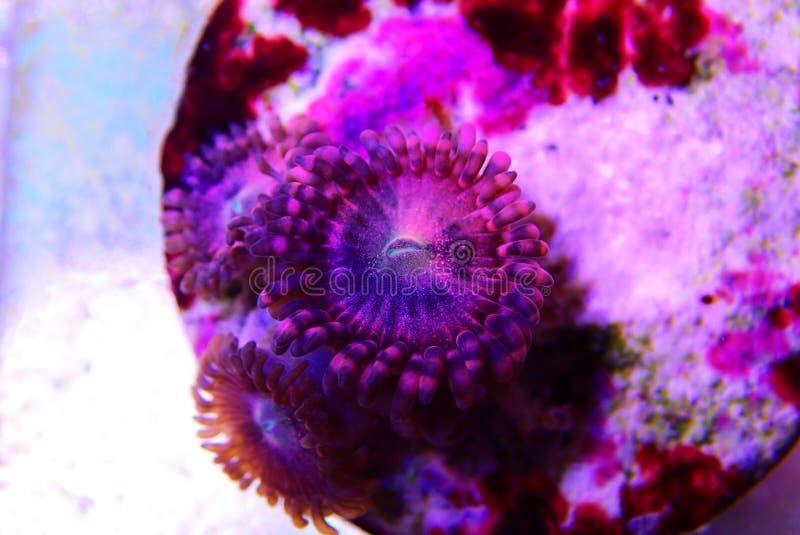 Αίσθηση μαγείας - κοράλλι αποικιών Zoanthus polyps στη δεξαμενή ενυδρείων σκοπέλων στοκ εικόνα με δικαίωμα ελεύθερης χρήσης