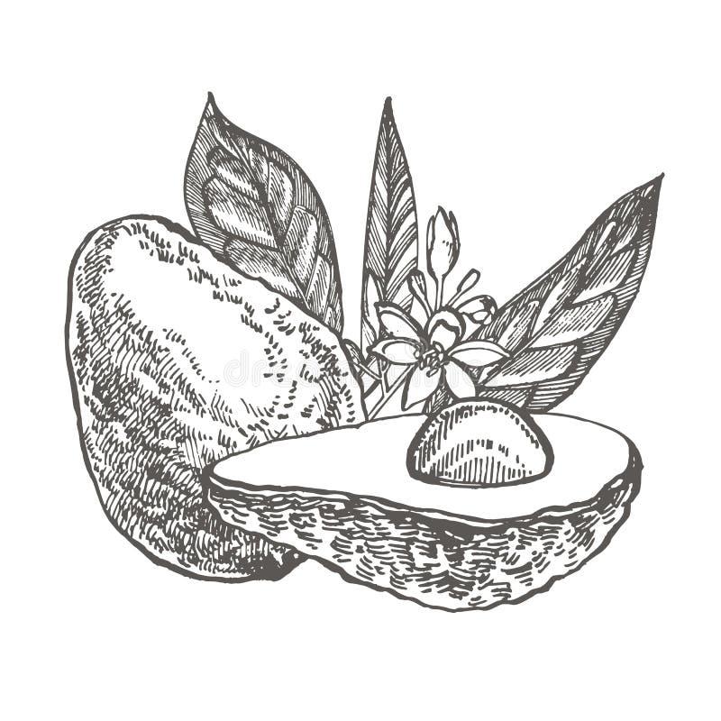 Αβοκάντο r Τροπική απεικόνιση θερινού χαραγμένη φρούτα ύφους διανυσματική απεικόνιση