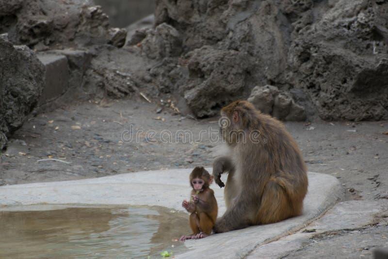 Αγάπη πίθηκος-μητέρων ` s στοκ φωτογραφίες με δικαίωμα ελεύθερης χρήσης
