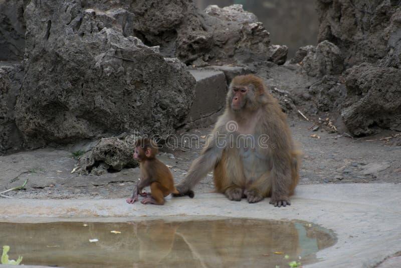 Αγάπη πίθηκος-μητέρων ` s στοκ φωτογραφία