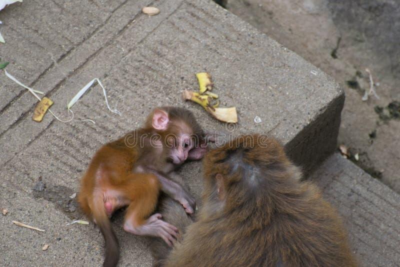 Αγάπη πίθηκος-μητέρων ` s στοκ εικόνες