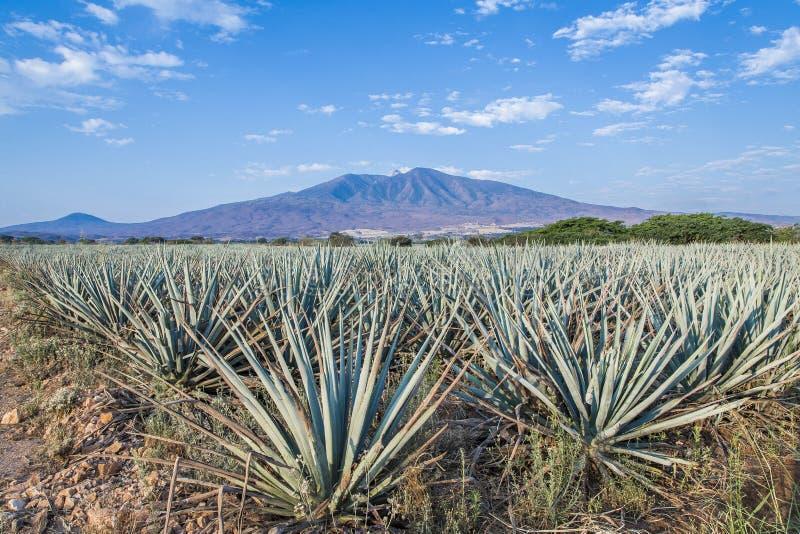 Αγαύη Tequila lanscape στοκ εικόνες με δικαίωμα ελεύθερης χρήσης