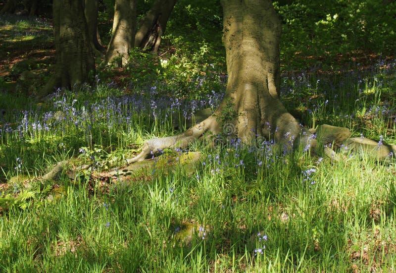 Αγγλικά bluebells που ανθίζουν στη φωτεινή δασώδη περιοχή άνοιξη που περιβάλλεται από τη χλόη και τα δέντρα στοκ εικόνα