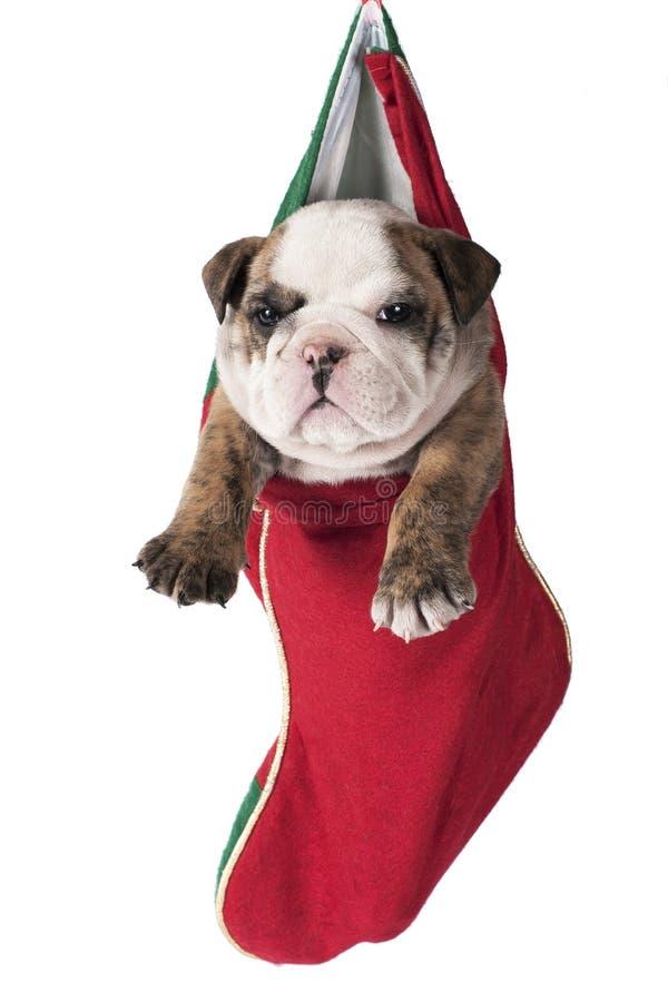 Αγγλικό κουτάβι μπουλντόγκ Χριστουγέννων στοκ φωτογραφία με δικαίωμα ελεύθερης χρήσης