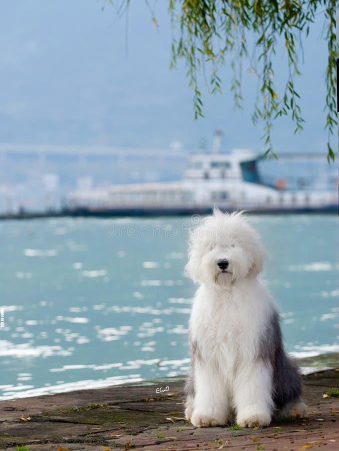 αγγλικό παλαιό τσοπανόσκυλο σκυλιών στοκ φωτογραφίες