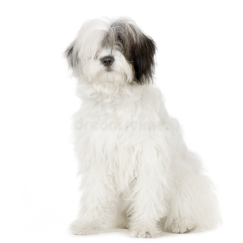αγγλικό παλαιό τσοπανόσκυλο στοκ φωτογραφίες με δικαίωμα ελεύθερης χρήσης
