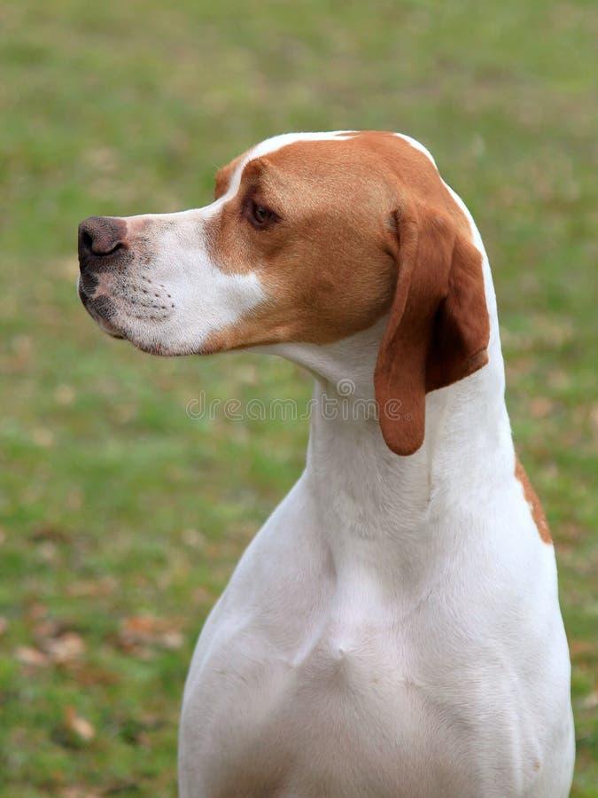 Αγγλικό σκυλί δεικτών στοκ εικόνες