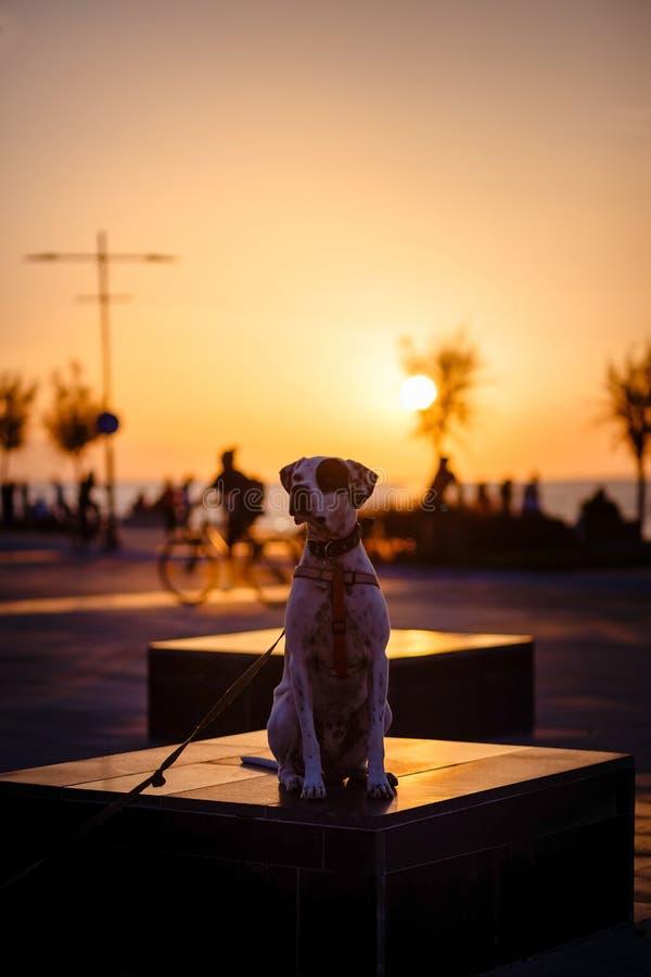 Αγγλικό σκυλί φαινότυπου μιγμάτων δεικτών στο ηλιοβασίλεμα στοκ εικόνα με δικαίωμα ελεύθερης χρήσης