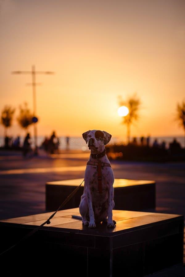 Αγγλικό σκυλί φαινότυπου μιγμάτων δεικτών στο ηλιοβασίλεμα στοκ φωτογραφία με δικαίωμα ελεύθερης χρήσης