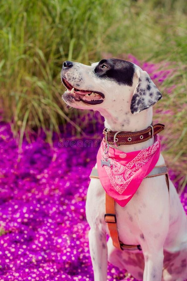 Αγγλικό σκυλί φαινότυπου μιγμάτων δεικτών στοκ φωτογραφία με δικαίωμα ελεύθερης χρήσης