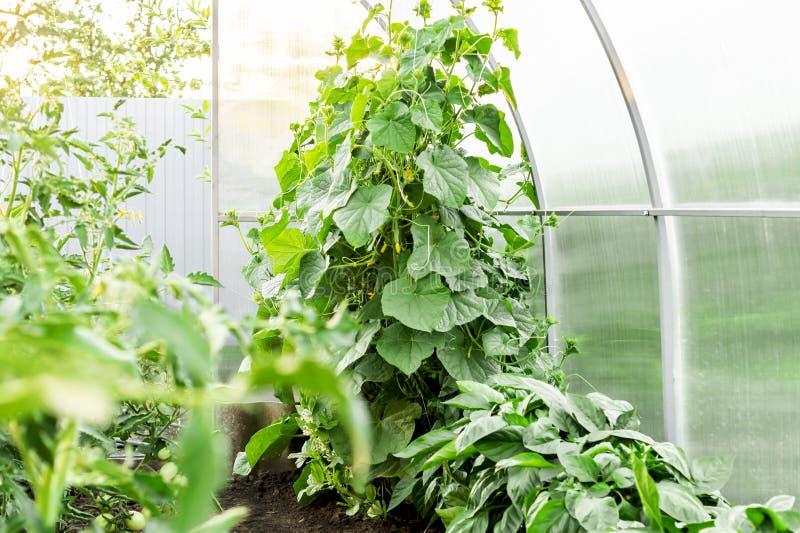 Αγγούρια σποροφύτων Η καλλιέργεια των αγγουριών στα θερμοκήπια Σπορόφυτα στο θερμοκήπιο Ανάπτυξη των λαχανικών μέσα στοκ εικόνες