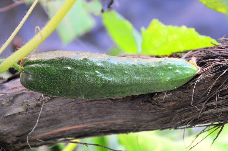 αγγούρι πράσινο στοκ φωτογραφίες με δικαίωμα ελεύθερης χρήσης