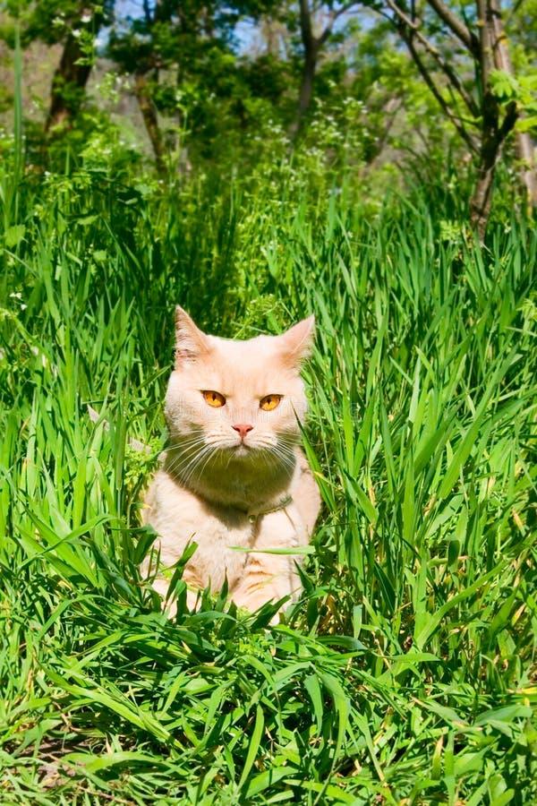 Αγγλική λείος-μαλλιαρή γάτα στοκ εικόνα