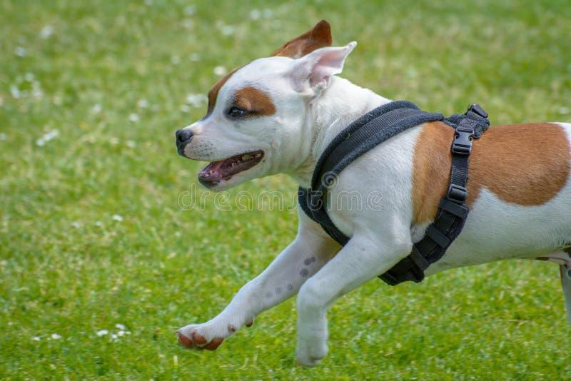 Αγγλικό κουτάβι τεριέ ταύρων Staffordshire στοκ φωτογραφίες με δικαίωμα ελεύθερης χρήσης