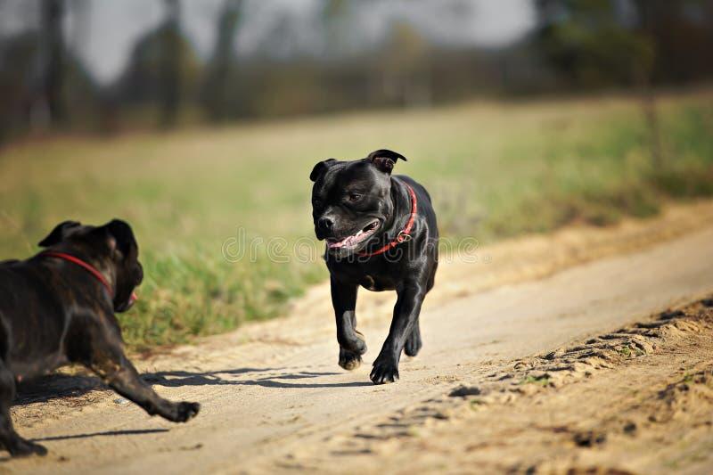 Αγγλικό τρέξιμο τεριέ ταύρων Staffordshire στοκ φωτογραφία με δικαίωμα ελεύθερης χρήσης