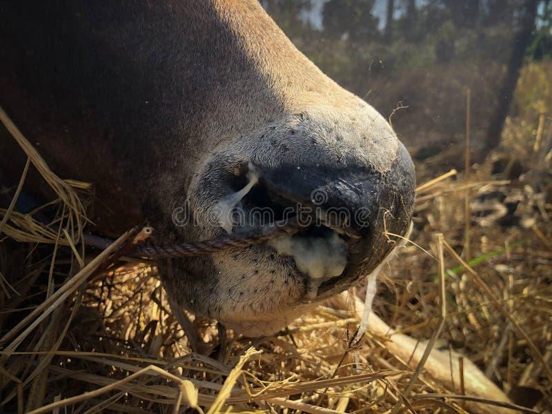 αγελάδα έχει πυρετό και μύτη που τρέχει στοκ φωτογραφία με δικαίωμα ελεύθερης χρήσης