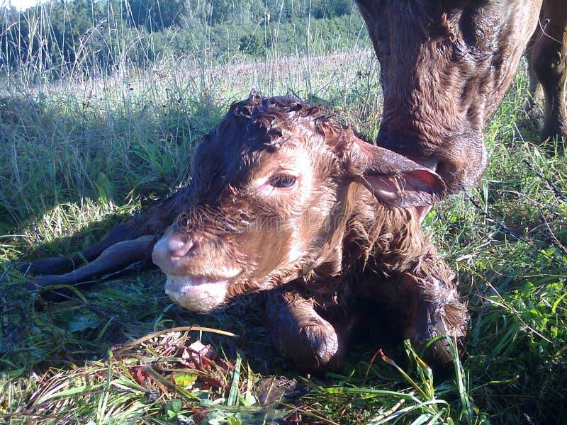 Αγελάδα και μόσχος στοκ εικόνα με δικαίωμα ελεύθερης χρήσης