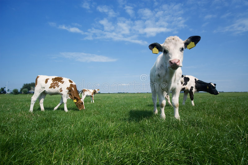 αγελάδα μωρών χαριτωμένη στοκ φωτογραφία με δικαίωμα ελεύθερης χρήσης