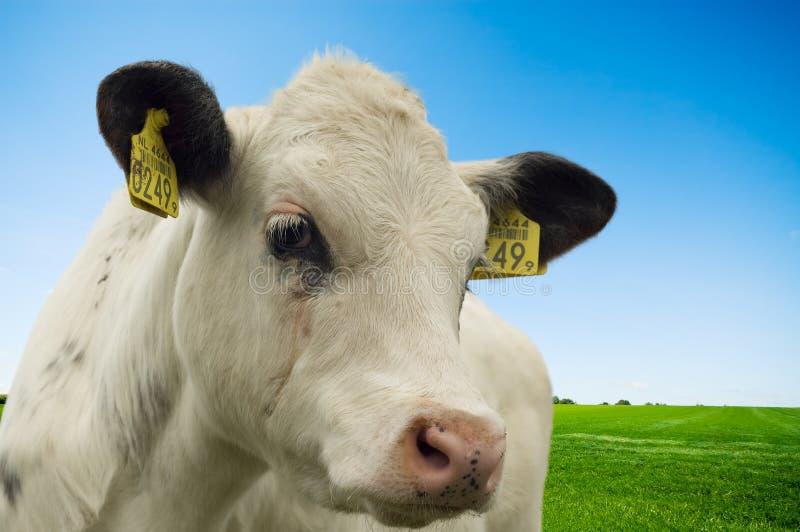 αγελάδα μωρών στοκ φωτογραφία με δικαίωμα ελεύθερης χρήσης