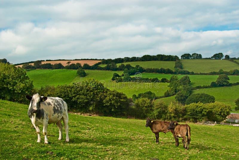 Download αγελάδα μόσχων στοκ εικόνες. εικόνα από αγελάδα, γαλακτοκομείο - 13190294
