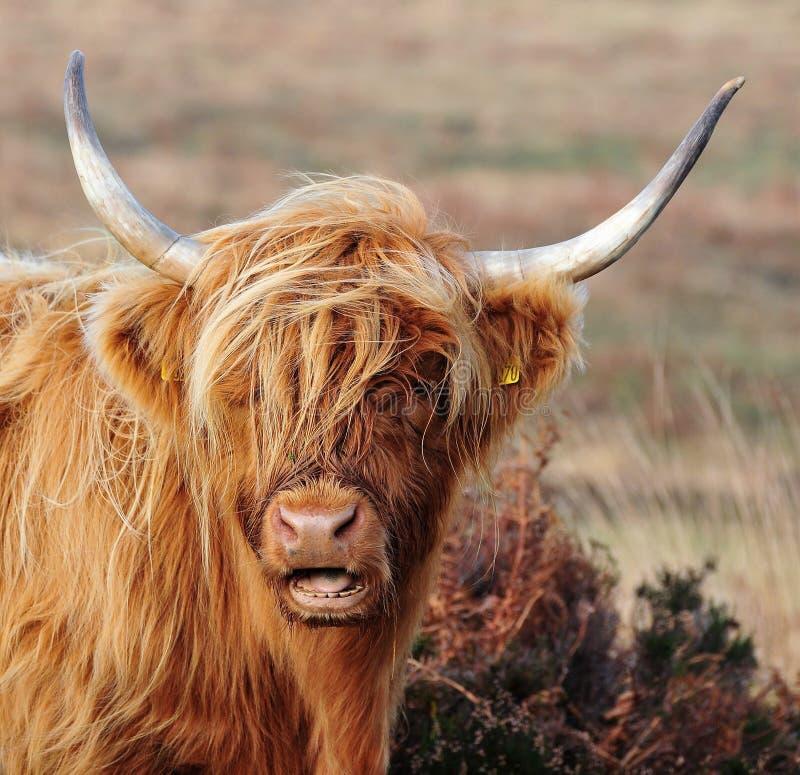 Αγελάδα ορεινών περιοχών που ζει στο χλοώδη βαλτότοπο στοκ εικόνες