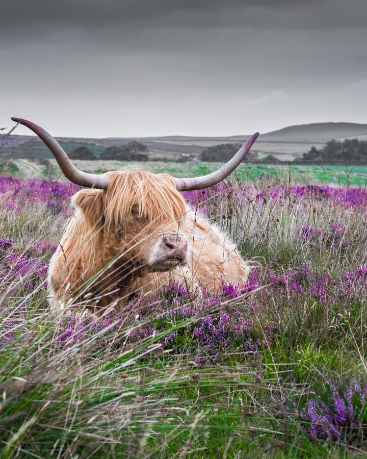 Αγελάδα ορεινών περιοχών που ξαπλώνει μεταξύ της πορφυρής ερείκης στοκ εικόνα