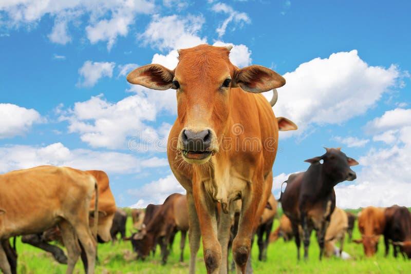 αγελάδα περίεργη στοκ φωτογραφία με δικαίωμα ελεύθερης χρήσης