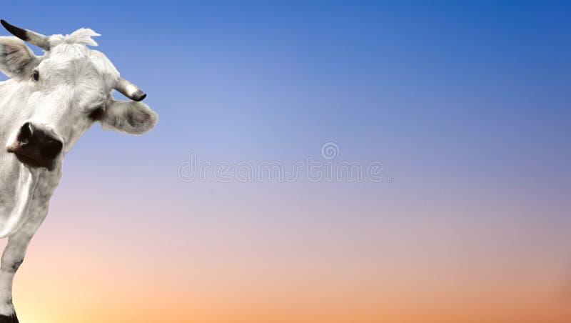 Αγελάδα που εξετάζει σας στοκ φωτογραφίες με δικαίωμα ελεύθερης χρήσης
