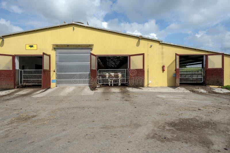 Αγελάδα που κλείνουν στη σιταποθήκη και κοίταγμα μέσω της πόρτας στοκ εικόνες με δικαίωμα ελεύθερης χρήσης