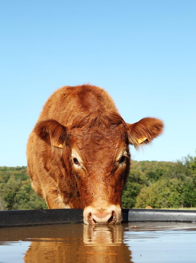 αγελάδα που πίνει την αντανάκλαση του Λιμουζέν στοκ εικόνες
