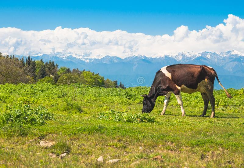 Αγελάδα σε ένα λιβάδι στο κλίμα των χιονοσκεπών βουνών στοκ φωτογραφίες με δικαίωμα ελεύθερης χρήσης