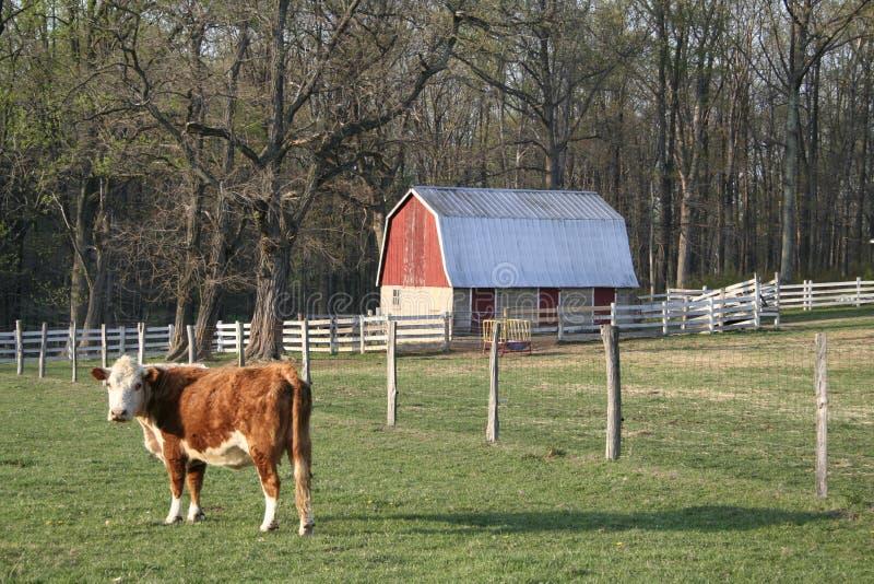 αγελάδα σιταποθηκών στοκ εικόνα