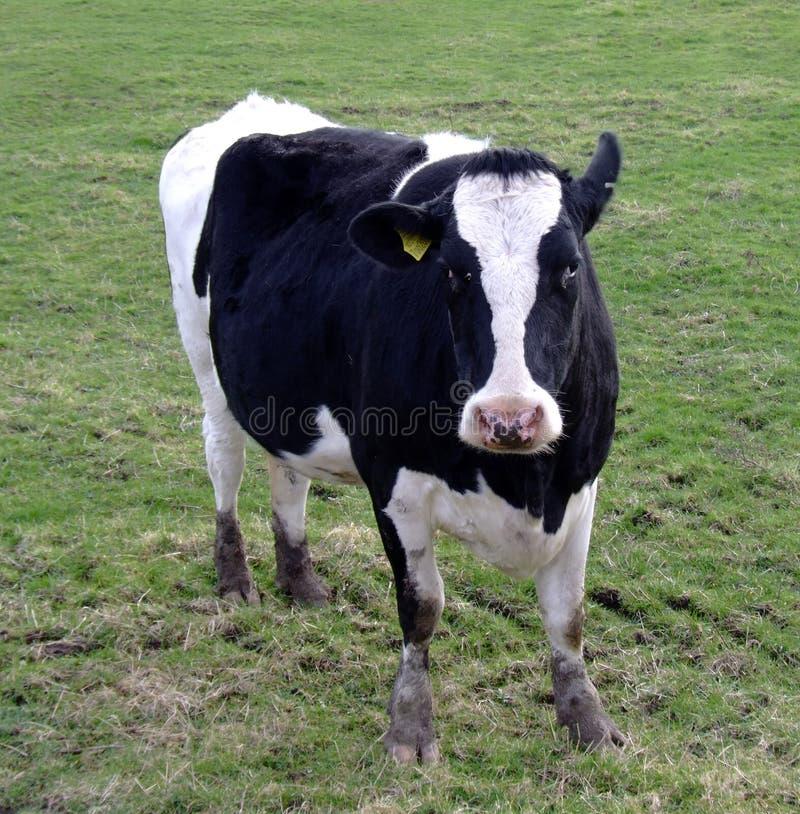 αγελάδα fresian στοκ φωτογραφία
