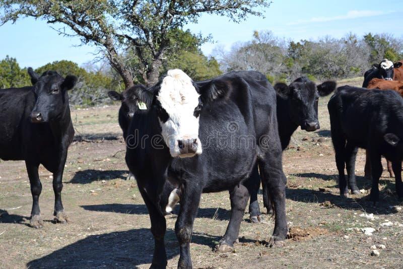 Αγελάδες βόειου κρέατος κοπαδιών στο λιβάδι στοκ εικόνες