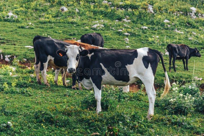 Αγελάδες γάλακτος που βόσκουν στα αλπικά βουνά το πράσινο λιβάδι χλόης στοκ εικόνες