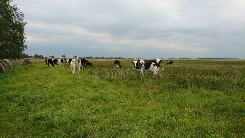 Αγελάδες γραπτές στοκ εικόνες