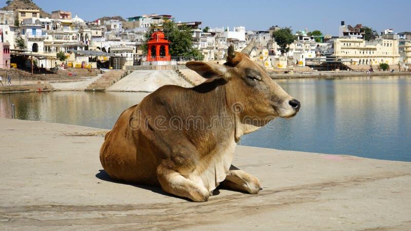 αγελάδες Ινδία στοκ φωτογραφίες με δικαίωμα ελεύθερης χρήσης