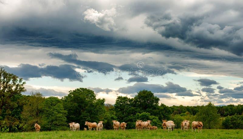 Αγελάδες και ένας να απειλήσει νεφελώδης ουρανός Απειλητικά σύννεφα επάνω από το τοπίο στοκ φωτογραφίες