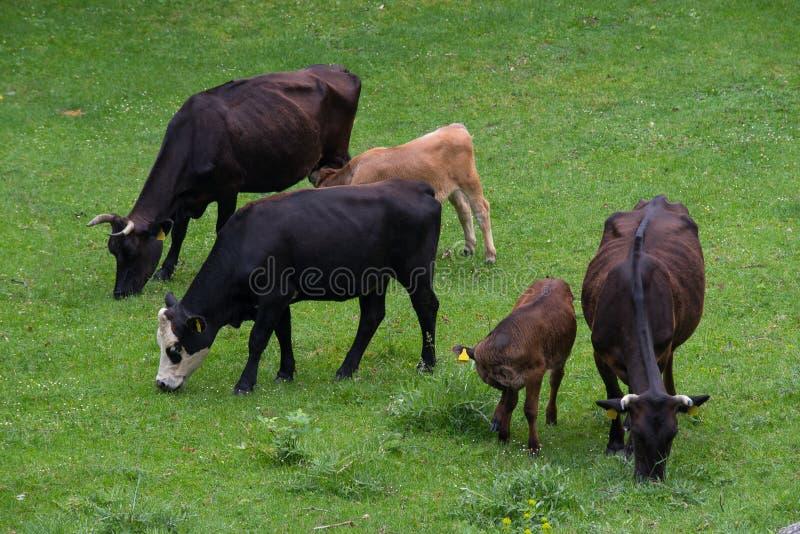 Αγελάδες και μόσχοι στοκ φωτογραφίες με δικαίωμα ελεύθερης χρήσης