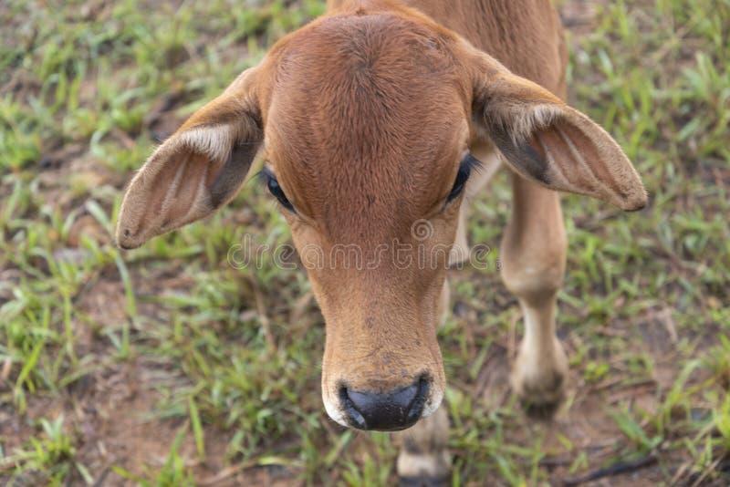 Αγελάδες και μόσχοι στο αγρόκτημα με το πυκνό υπόβαθρο ομίχλης στο μέρος 16 αυγής στοκ εικόνες με δικαίωμα ελεύθερης χρήσης