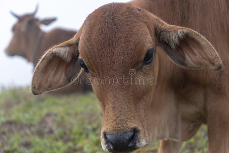Αγελάδες και μόσχοι στο αγρόκτημα με το πυκνό υπόβαθρο ομίχλης στο μέρος 13 αυγής στοκ εικόνα
