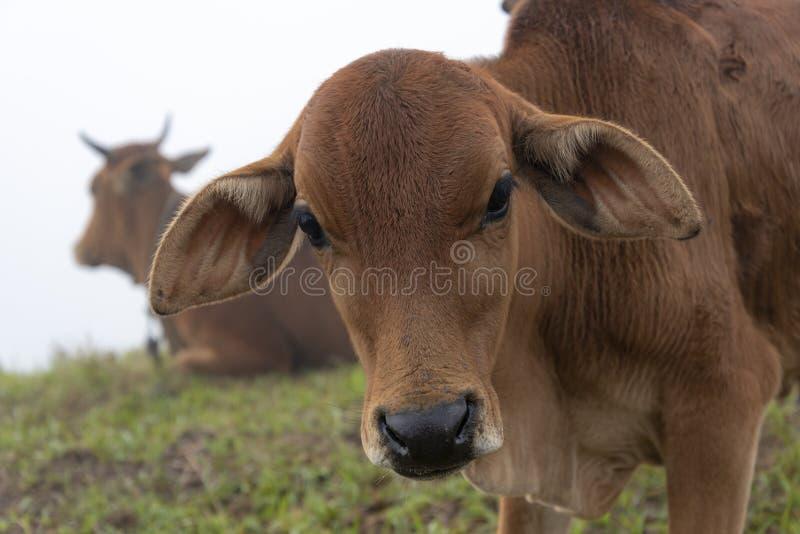Αγελάδες και μόσχοι στο αγρόκτημα με το πυκνό υπόβαθρο ομίχλης στο μέρος 9 αυγής στοκ εικόνα με δικαίωμα ελεύθερης χρήσης