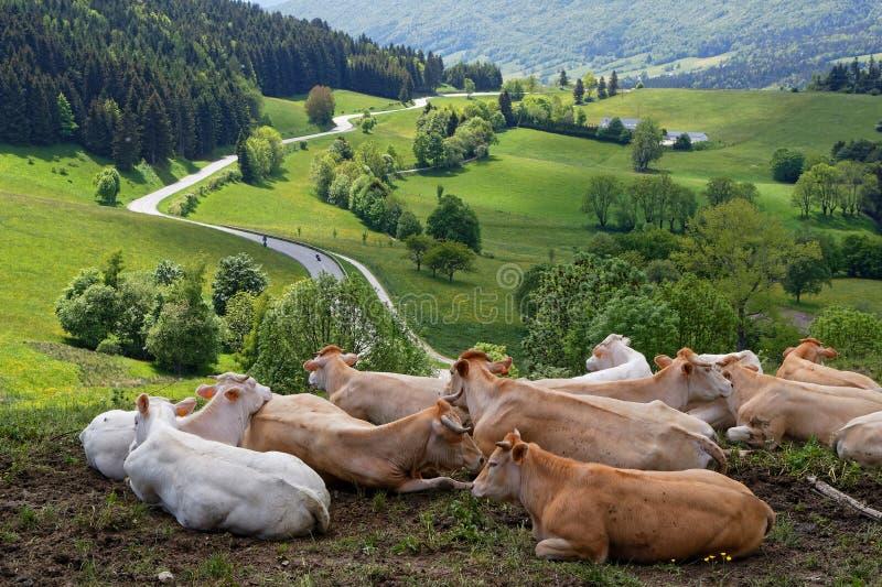 Αγελάδες και ο δρόμος που διασχίζει το Vercors στοκ φωτογραφία με δικαίωμα ελεύθερης χρήσης