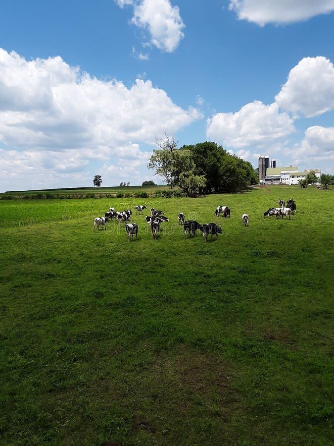 Αγελάδες που βόσκουν σε έναν τομέα στοκ φωτογραφία με δικαίωμα ελεύθερης χρήσης