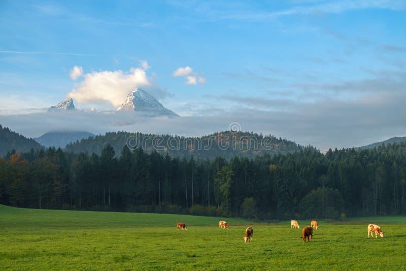 Αγελάδες που βόσκουν σε ένα πράσινο πολύβλαστο λιβάδι στοκ φωτογραφία